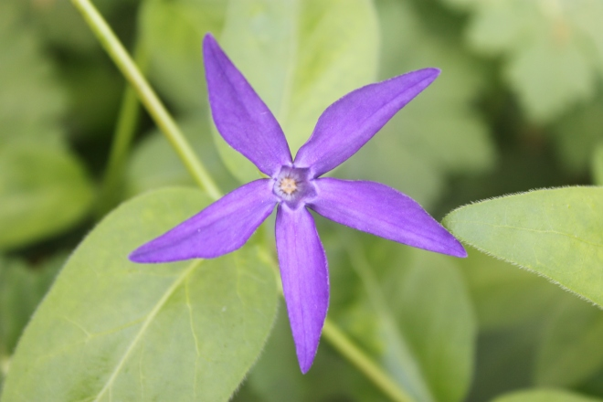 Periwinkle oxyloba